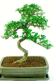 chinese elm indoor bonsai tree excellence range