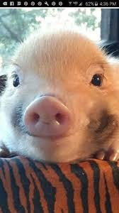 1101 best this little piggie images on pinterest 13 reasons