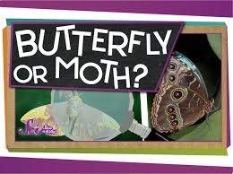 butterfly or moth youtube
