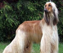 afghan hound do they shed afghan hound