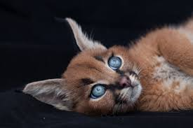 caracals might be the cutest wild cat you u0027ve seen u2013 purrshare