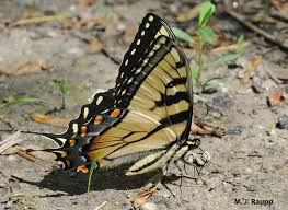 butterflies behaving badly lepidoptera puddling bug of the week