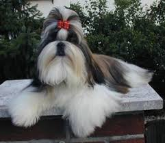 shih tzu with curly hair shihpoo designer dogs online