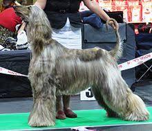 afghan hound times afghan hound wikipedia