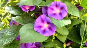 Morning Glory Climbing Plant - morning glory vines variegated ground cover and climbing type