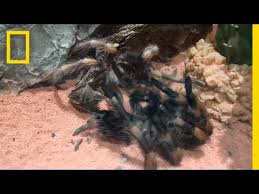 watch this tarantula crawl out of its own skeleton national