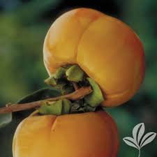 fuyugaki persimmon tree perfuybp the home depot