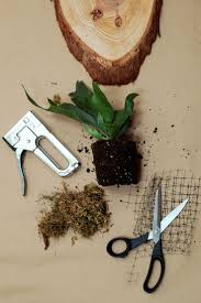 best 25 staghorn fern ideas only on pinterest staghorn plant
