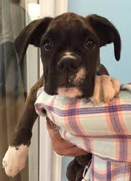3 month boxer dog adopted 3 month old boxer phoebe is save a pet animal