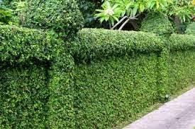 Teh Tehan tukang taman jakarta jual pohon pucuk merah tukang taman depok