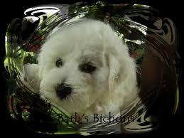 bichon frise puppy 8 weeks akc bichon frise puppies bichon frise breeder in illinois home