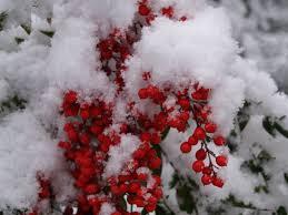 red berries ramblin u0027 through dave u0027s garden