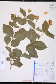 plants native to india jasminum sambac species page isb atlas of florida plants