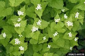 ohio native plants invasive plants appalachian ohio weed control partnership