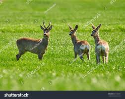 roebuck deer family on wheat field stock photo 631786697