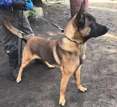 belgian shepherd washington state police k 9 u0027s sales upstate k 9