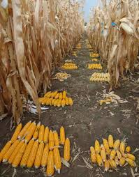 heat stress tolerant maize for asia cimmyt international maize