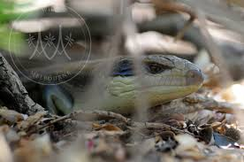 snail extermination and slug annihilation the blue tongue lizards