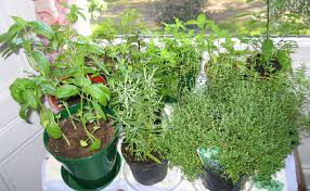 Window Sill Herb Garden by Herbs The Windowsill Garden Cookalicious