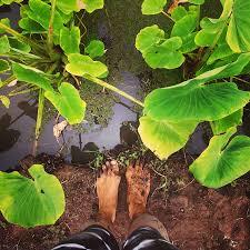 native hawaiian plants maui taro plant sale maui hawaiian taro plants