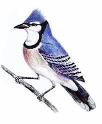 bird sketch picmia