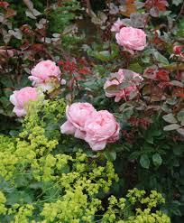 Fragrant Rose Plants - rose u0027brother cadfael u0027 ausglobe