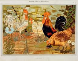 155 best roosters coq gaulois images on roosters