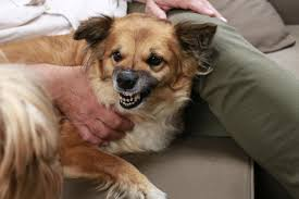 australian shepherd overweight why would a loving dog suddenly become aggressive simply for dogs