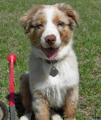 australian shepherd kidney disease rio the australian shepherd puppies daily puppy