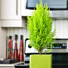 trees indoor potted plants european pines rocket farms