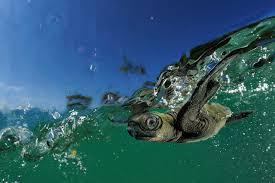 marine turtles wwf
