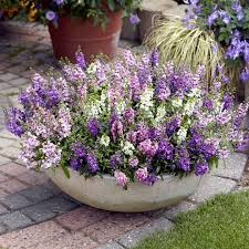 Best Plants For Hanging Baskets by Angelonia Plants Serena Mix Suttons Seeds And Plants