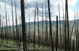 Wildfire Test Questions by Mountain Pine Beetles Get A Bad Rap For Wildfires Study Says