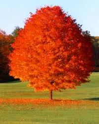 shade tree fall color maple october glory review