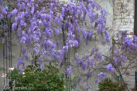 wisteria u2013 late march in texas u2013 lee ann torrans gardening