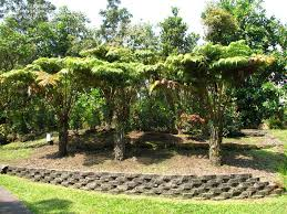 plantfiles pictures hawaiian tree fern tree fern hapu u