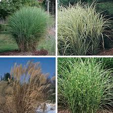 miscanthus ornamental grass miscanthus species my garden insider