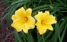 Stella Daylily Daylily Perennials Ebay