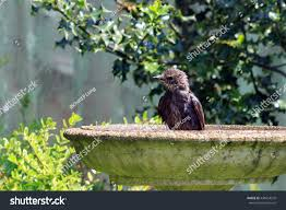 starling bathing ornamental bird bath stock photo 438454570