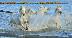 camargue white horse wallpapers herd of white camargue horses running through water stock photo