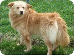 american eskimo dog yahoo lindy adopted dog waynetown in golden retriever american