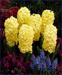 fall bulbs buy them now plant them later and let them bloom