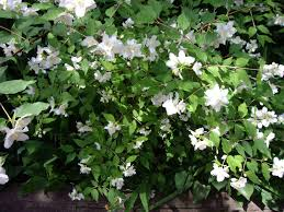 Small Shrubs For Front Yard - www thehoneytreenursery com