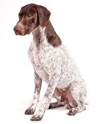 the best types of dogs for runners german shorthaired pointer