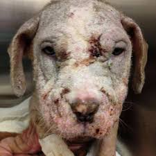 puppy left for dead in cardboard box fights for her life the dodo