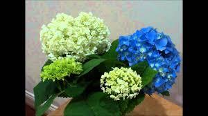 Hydrangea Flowers Hydrangea Flower Time Lapse Youtube