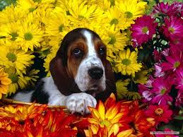 cute puppies 2 wallpapers cute basset hound puppies wallpaper