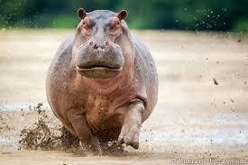 Hippo Memes - hippo memes memeshappen