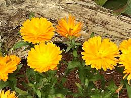 calendulas how to grow and care for english marigold plants