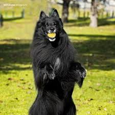 belgian shepherd breeds 118 best belgian sheepdogs images on pinterest belgian shepherd